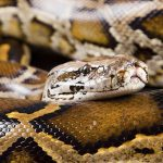 From Predator to Prey: Identifying Non-native Python Species using NIR Reflection