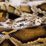 From Predator to Prey: Identifying Non-native Python Species using NIR Reflection